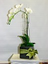 Orchids for Any Occaision